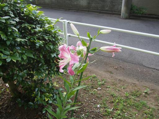 20180630・近所植物2・ピンクパレス