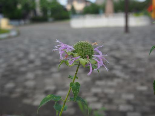 20180708・近所植物6・ヤグルマカッコウ