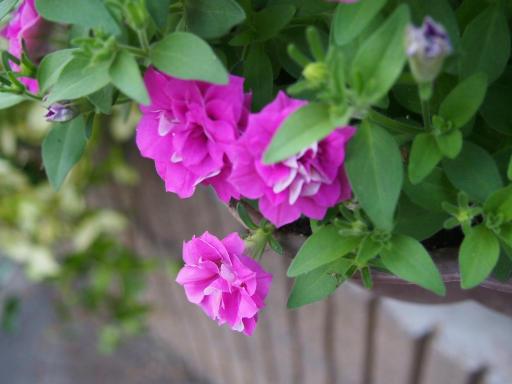 20180709・近所植物5・サフィニアフリル