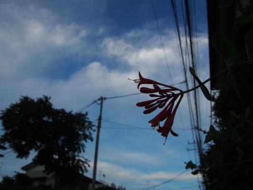 20180709・近所植物4・ツキヌキニンドウ