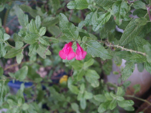 20180709・近所植物1・チェリーセージ