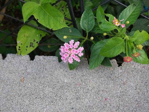 20180709・近所植物3・ランタナ