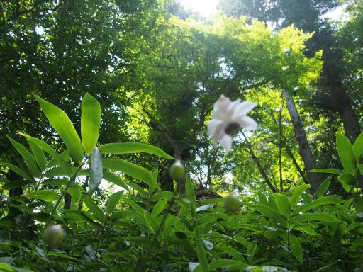 20180805・御岳植物07・レンゲショウマ