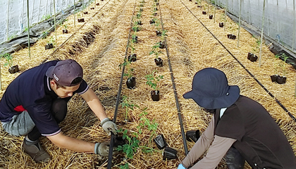 ミニトマト植付