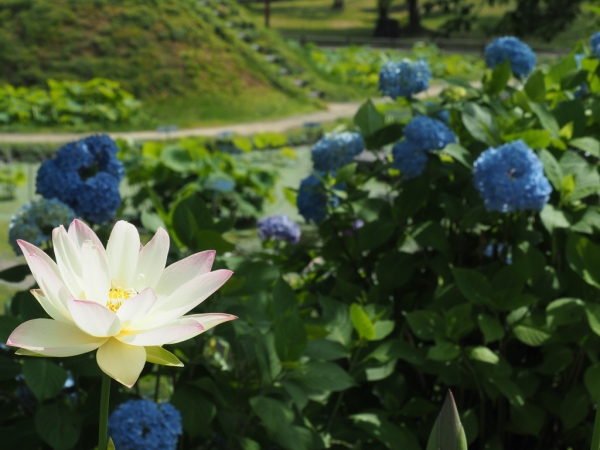 2018.06.24花はす公園3