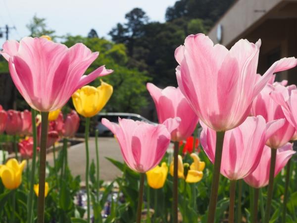 2018.04.22足羽小学校の花壇1