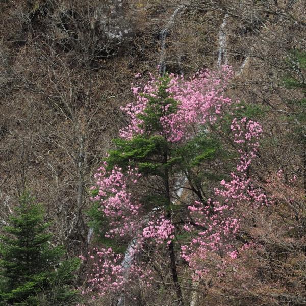2018.04.27観爆台から桜