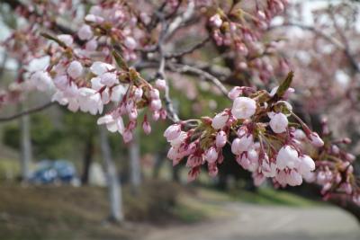 2018年4月桜の1