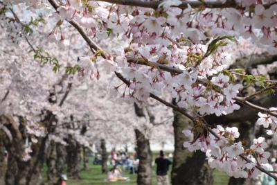 2018年4月桜の2
