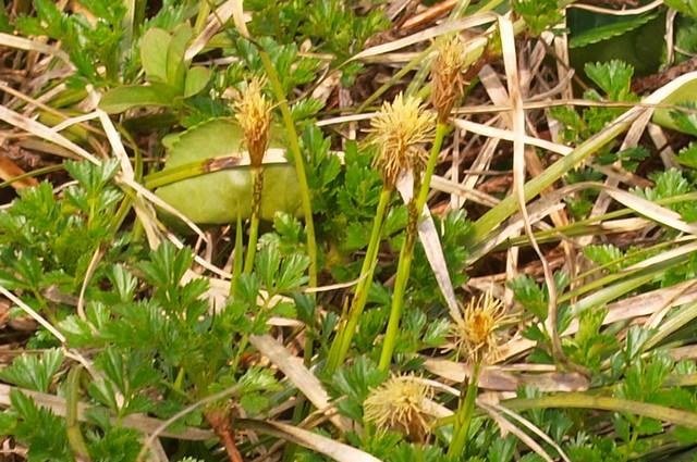 sワタスゲの花