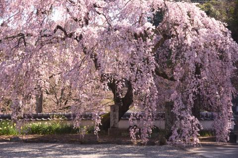 西側から天堂のしだれ桜