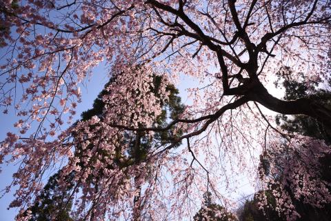 真下から望む天堂のしだれ桜