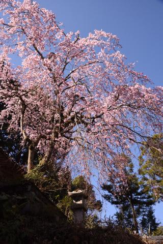 東側境内のしだれ桜