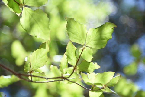 新緑のミツバツツジ