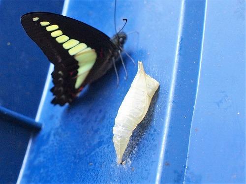 500蝶とさなぎとゴミ箱2