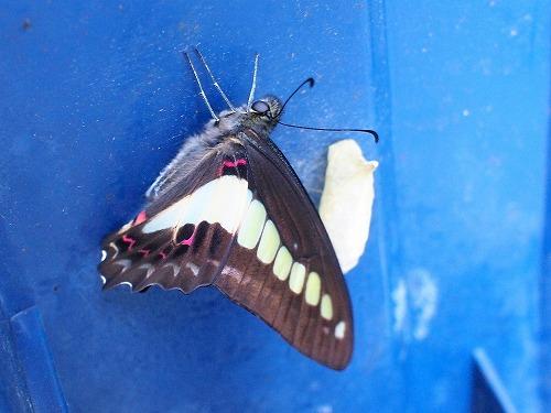 500蝶とさなぎとゴミ箱1