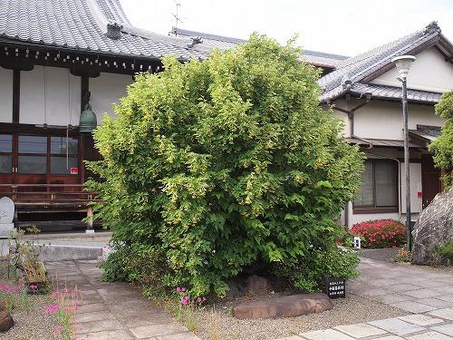 500菩提樹1805294