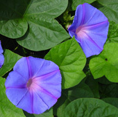 宿根朝顔オーシャンブルー花