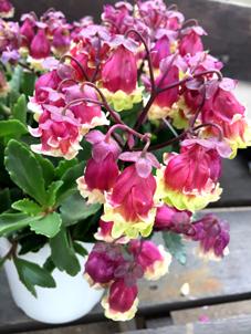 カランコエ八重咲き
