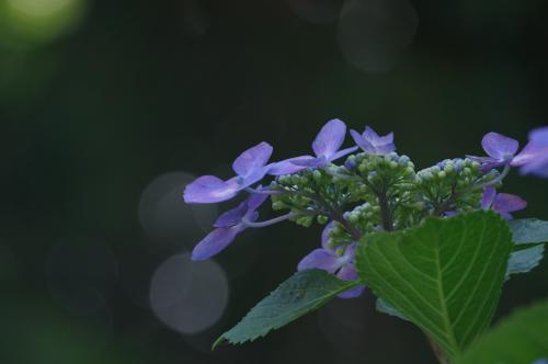 hydrangea1