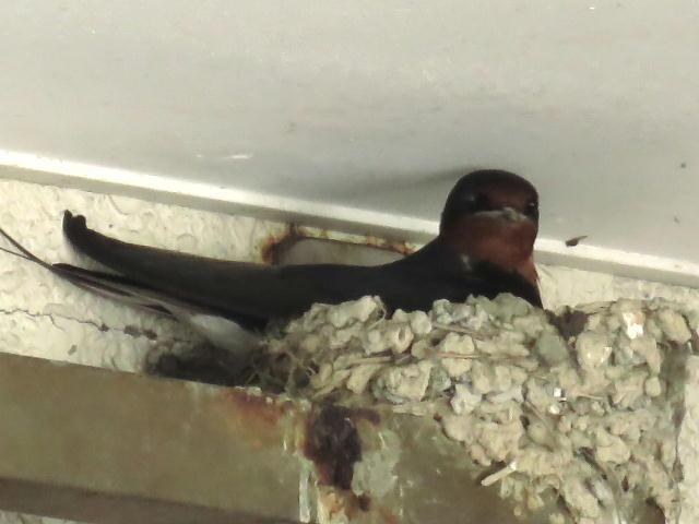ツバメ巣作り01 (8)