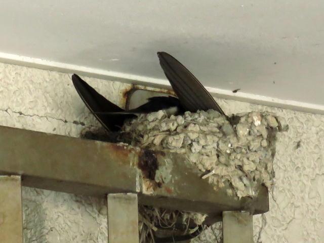 ツバメ巣作り01 (12)