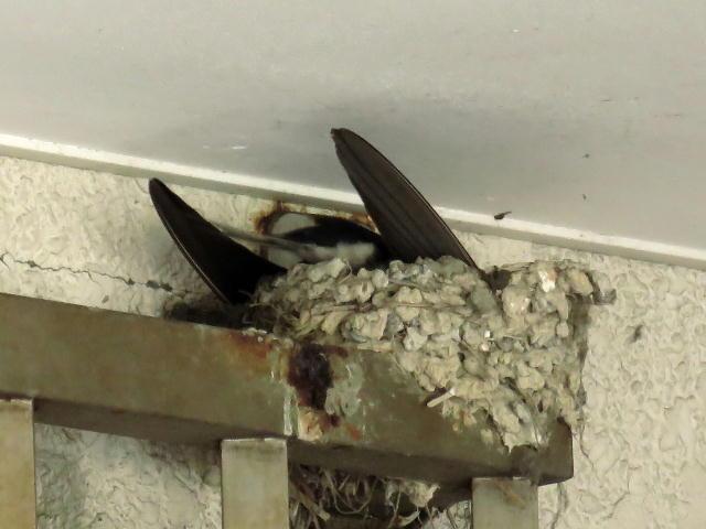 ツバメ巣作り01 (13)