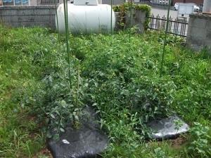 180716トマト畑