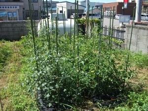 180730トマト畑