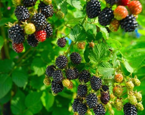 blackberries1.jpg