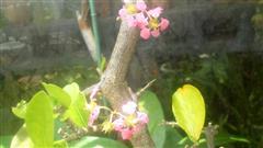 アセロラ花①_R