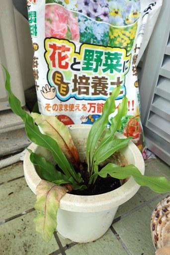 コタニワタリ-b DSC01911
