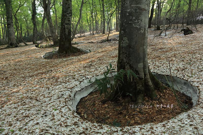 玉川温泉のブナ