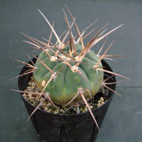Sany0135--armatum--HTH 105--Paichu ーーPiltz seed 5811 (2013)