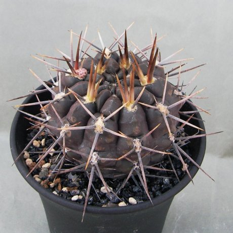 Sany0064--gibbosum ssp radekii--JPR 70-157--Brranca de Gualicho Rio Negro 140m--ex Eden IB15272