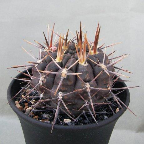 Sany0065--gibbosum ssp radekii--JPR 70-157--Brranca de Gualicho Rio Negro 140m--ex Eden IB15272