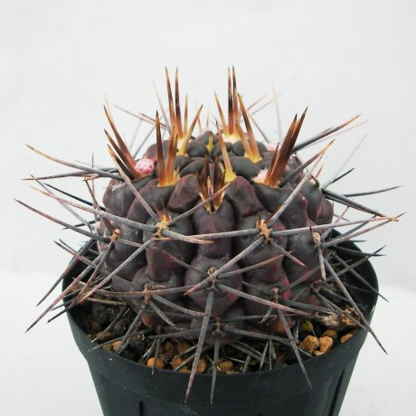 Sany0085--gibbosum ssp radekii--JPR 70-157--Piltz seed 4624