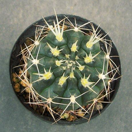Sany0178--gibbosum ssp ferox--JPR 54-121--Bercht seed