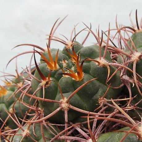 Sany0115--carminanthum v montanum--STO