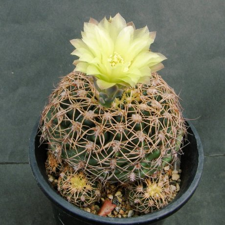 Sany0208--leeanum v netrelianum--Piltz seed 2486
