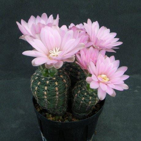 180418--Sany0052--bruchii v albispinum--Piltz seed 3675