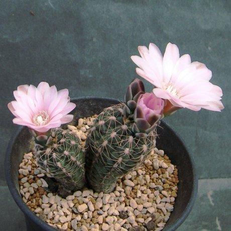 180418--Sany0077--bruchii v brigittae--STO 702--Bercht seed 2086(2011)