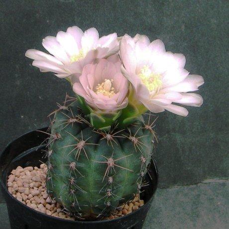 180418--Sany0054--bruchii v brigittae--LB 988--Bercht seed 1994(2010)