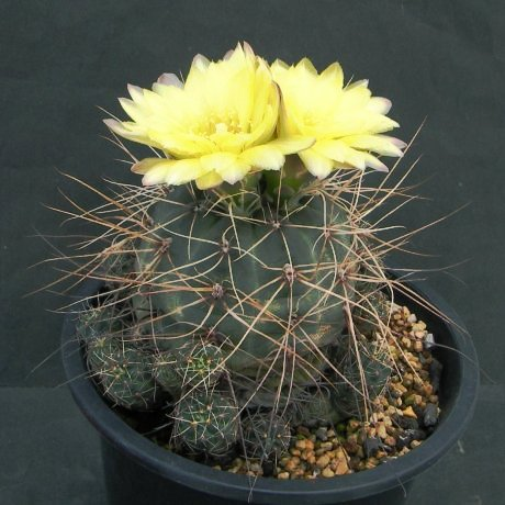 Sany0049--andreae longispinum--(ex) Mrk