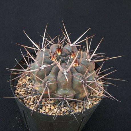 180421--Sany0175--reductum ssp sibalii--WP 028-033--Sierra Lihuel Carrel L Pampa 300-700m--ex Eden IB14905