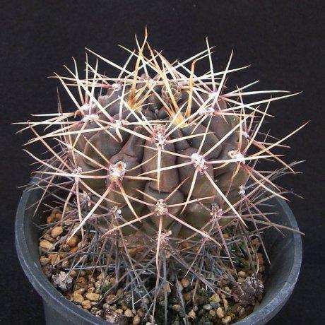 180421--Sany0186--gibbosum v leucacanthum--Mesa seed 467.3--ex Melenaudio (2009)