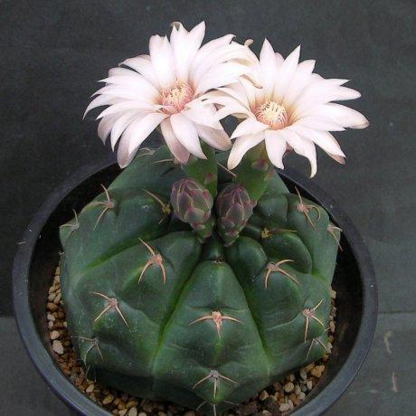 Sany0080--paraguayense--ex Moser--Piltz seed 1286