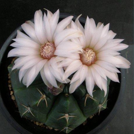 Sany0081--paraguayense--ex Moser--Piltz seed 1286