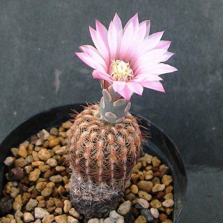 Sany0097--brucii ssp pawlovskyi--RH 2939a--Santa Cruz Sombremonte Cordoba 930m--ex eden IB18578