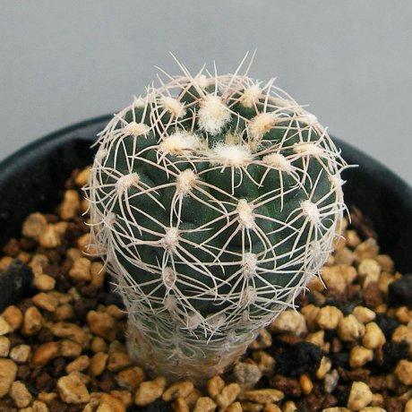 Sany0141--carolinense ssp ludwigii- STO 879--ex Eden IB 16319